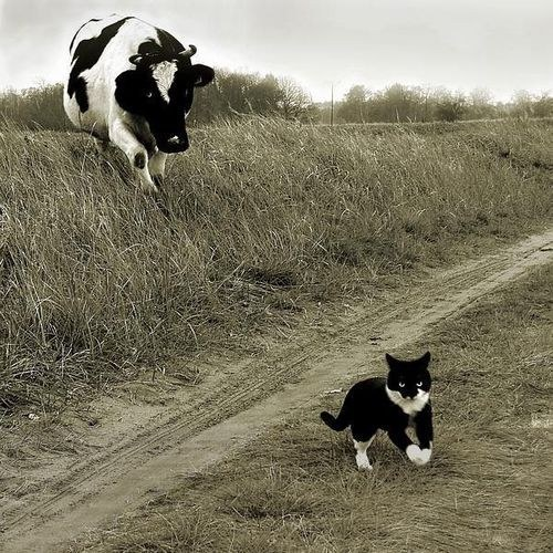 Le chat dans sa haine de tout ce qui vit n'a pas peur de s'attaquer à beaucoup plus gros que lui pour satisfaire sa soif de violence.