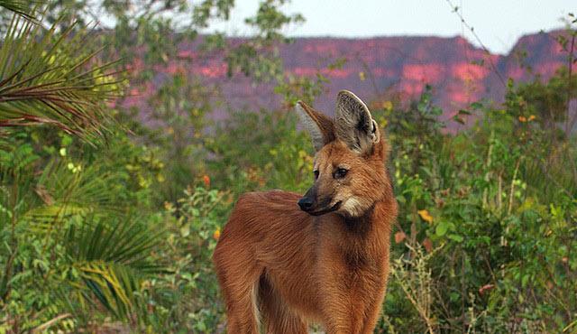 loup-à-crinière-cut