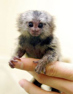 ouistiti pygmée 1