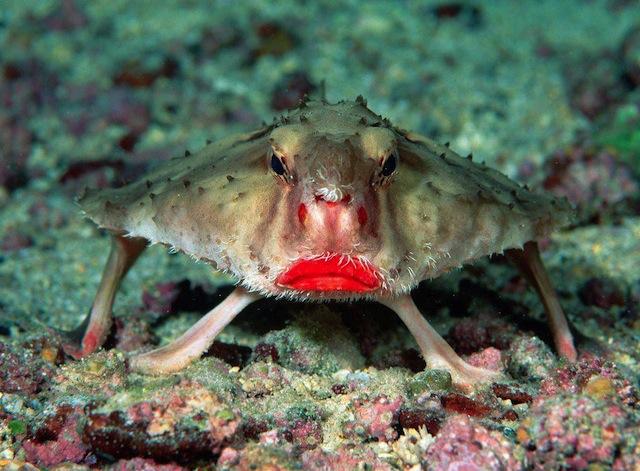 poisson-chauve-souris-prostitue