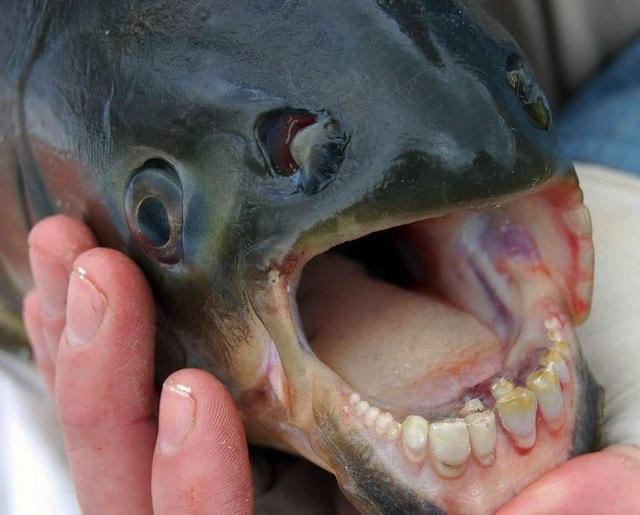 poisson-pacu-fish