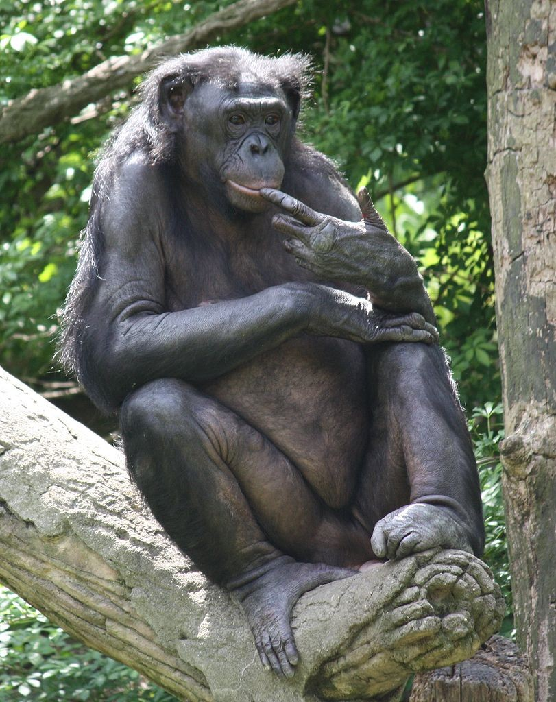 photo d'un noble bonobo